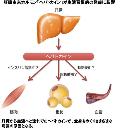 肝臓由来ホルモン「ヘパトカイン」が生活習慣病の発症に影響