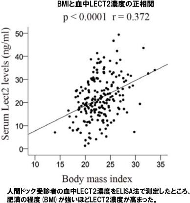 BMIと血中LECT2濃度の正相関