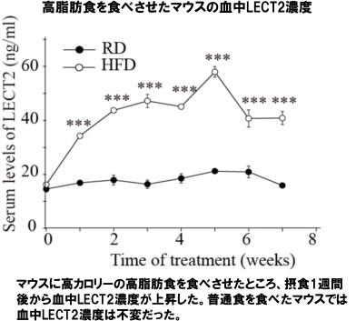 高脂肪食を食べさせたマウスの血中LECT2濃度