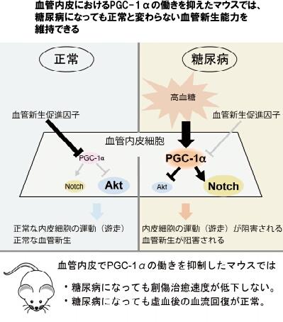 血管内皮におけるPGC-1αの働きを抑えたマウスでは、糖尿病になっても正常と変わらない血管新生能力を維持できる
