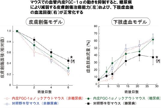 マウスでの血管内皮PGC-1αの動きを抑制すると、糖尿病により減弱する皮膚創傷治癒能力(左)および、下肢虚血後の血流回復(右)が正常化する