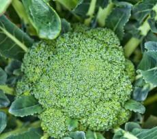 ブロッコリーの新芽成分に抗酸化作用 血管や肝臓のダメージを修復
