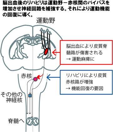 脳卒中後のリハビリのメカニズムを解明 効果的な手法の開発へ