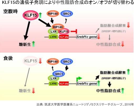 食事に応じた脂肪合成の遺伝子スイッチの仕組みを解明 治療へ一歩前進