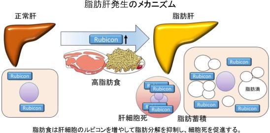 脂肪食は肝細胞のルビコンを増やして脂肪分解を抑制し、細胞死を促進する。