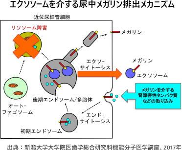 エクソソームを介する尿中メガリン排出メカニズム