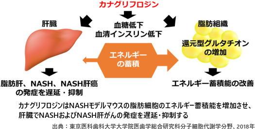 カナグリフロジンはNASHモデルマウスの脂肪細胞のエネルギー蓄積能を増加させ、肝臓でNASHおよびNASH肝がんの発症を遅延・抑制する