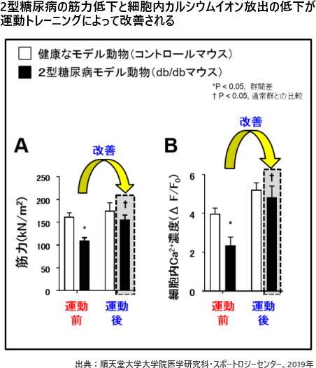 2型糖尿病の筋力低下と細胞内カルシウムイオン放出の低下が運動トレーニングによって改善される