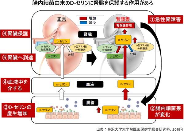 腸内細菌由来のD-セリンに腎臓を保護する作用がある