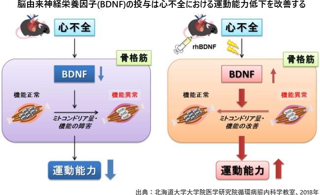脳由来神経栄養因子(BDNF)の投与は心不全における運動能力低下を改善する