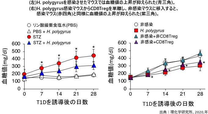 (左)H. polygyrusを感染させたマウスでは血糖値の上昇が抑えられた(青三角)。(右)H. polygyrus感染マウスからCD8Tregを単離し、非感染マウスに移入すると、感染マウス(赤四角)と同様に血糖値の上昇が抑えられた(紫三角)。