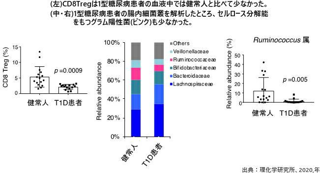 (左)CD8Tregは1型糖尿病患者の血液中では健常人と比べて少なかった。(中・右)1型糖尿病患者の腸内細菌叢を解析したところ、セルロース分解能をもつグラム陽性菌(ピンク)も少なかった。